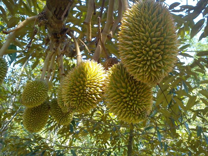 Mengenal jenis dan kualitas durian cani