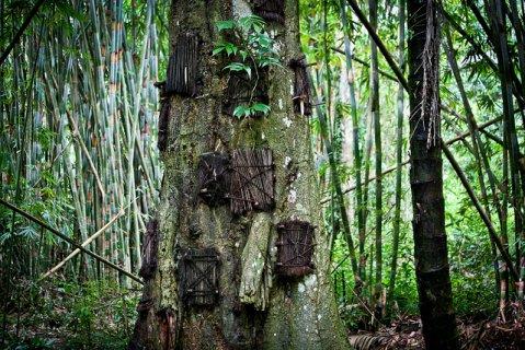 http://ensiklo.com/wp-content/uploads/2014/11/Pohon-Tarra-sebagai-tempat-penguburan-bayi-di-Tana-Toraja-Baby-Grave-Kambira.jpg