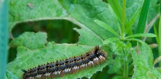 mengendalikan hama ulat dengan pestisida nabati