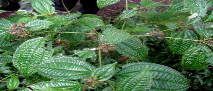 manfaat daun tiga jari